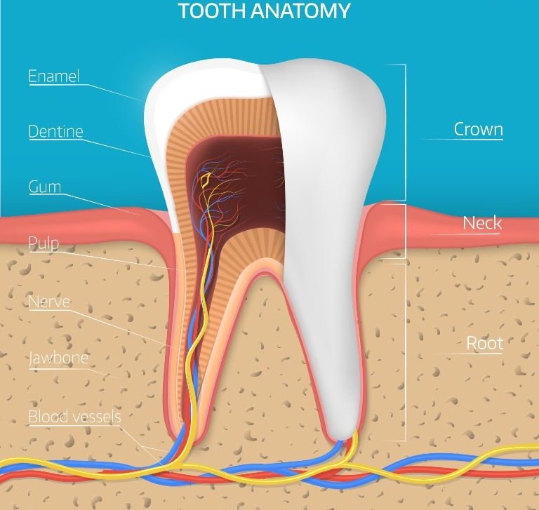 what is tooth anatomy